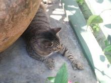polydactylcat